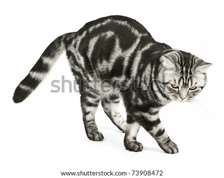 Silver tabby british cat walking isolated in the white background - stock photo