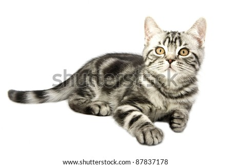 Silver tabby british kitten hunting isolated in the white background