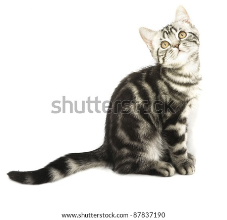 Silver tabby british kitten hunting isolated in the white background - stock photo