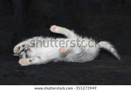 silver tabby cat kitten lying on its back on black background - stock photo