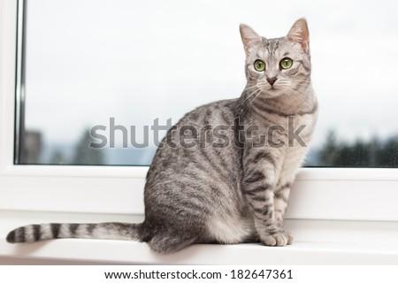 Silver tabby cat sitting on a window shelf - stock photo