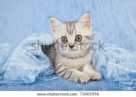 Silver Tabby kitten on blue lace - stock photo
