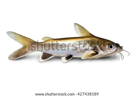 Silver-tipped Shark Catfish Ariopsis seemanni silver tipped aquarium fish isolated - stock photo