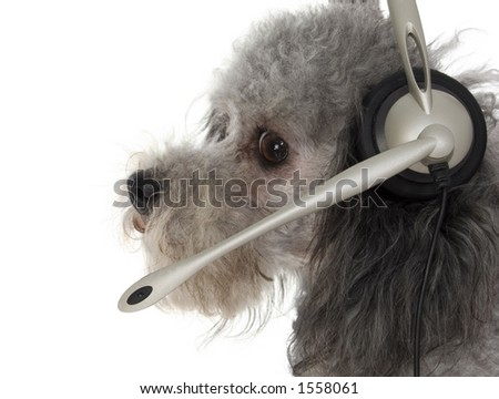 Silver toy poodle in head set. - stock photo