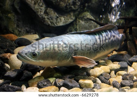 silver trout - stock photo