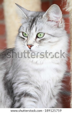 silver version of siberian cat, adult female - stock photo