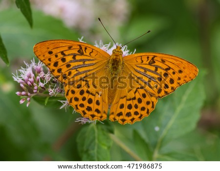 Silver washed fritillary. Argynnis paphia