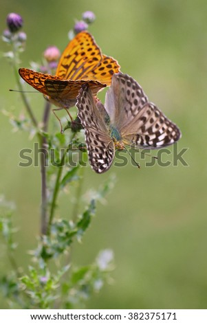 Silver-washed Fritillary (Argynnis paphia) butterfly in summer
