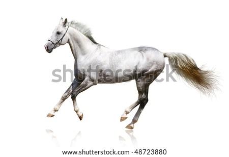 silver-white stallion galloping - stock photo