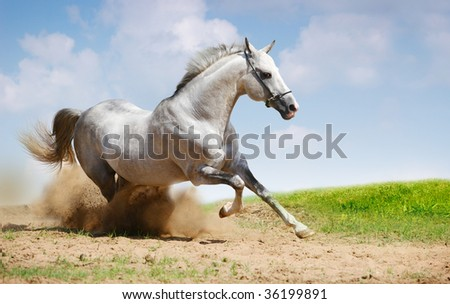 silver-white stallion galloping on field