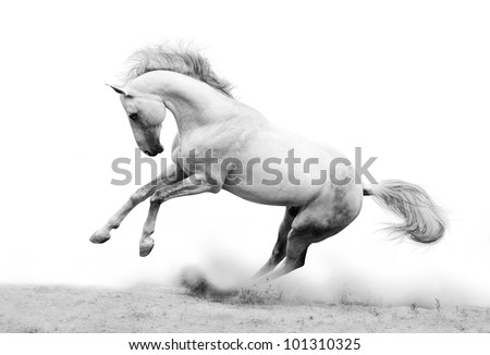 silver-white stallion in dust - stock photo