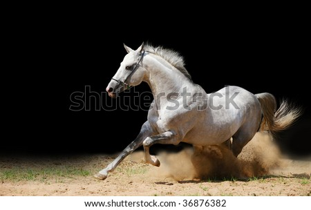 silver-white stallion in dust on black