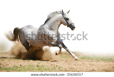 silver-white stallion in dust on white - stock photo