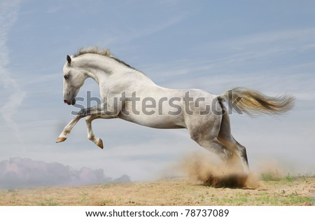 silver-white stallion jumping in dust - stock photo