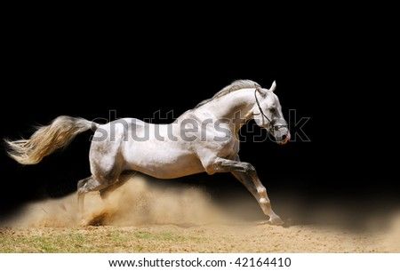 silver-white stallion moving fast in dust - stock photo