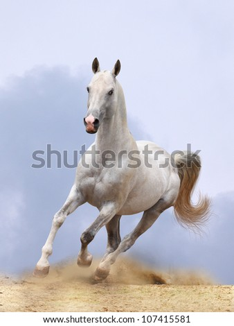 silver-white stallion running in dust - stock photo