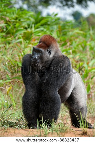 Silverback - adult male of a gorilla. Western Lowland Gorilla. - stock photo
