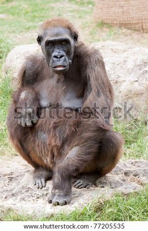 Silverback female lowland gorilla from Central Africa - stock photo