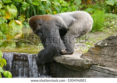 Silverback Gorilla Drinking Clean Water at a Stream