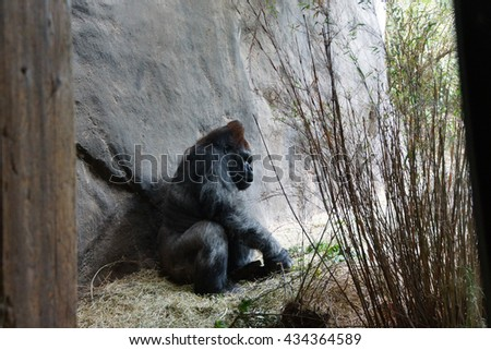 silverback gorilla having lunch