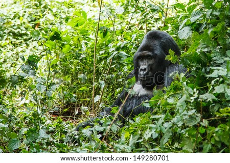 silverback gorilla in wild on Uganda. animal in nature.