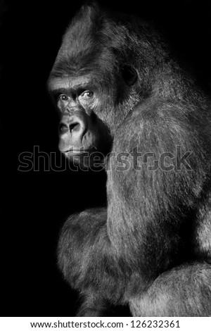 Silverback Gorilla looks straight in to the camera - stock photo