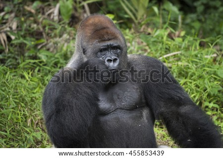 Silverback Gorilla on Confusing Thought Pose
