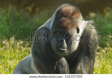 Silverback gorilla standing in morning sunshine and staring - stock photo