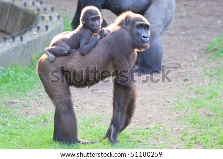 Silverback gorilla with calf - stock photo