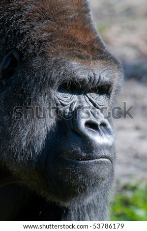 Silverback Lowland Gorilla Close-Up - stock photo