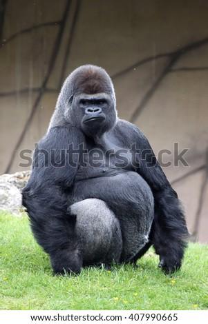 silverback male Western Lowland Gorilla, Gorilla g. gorilla  - stock photo