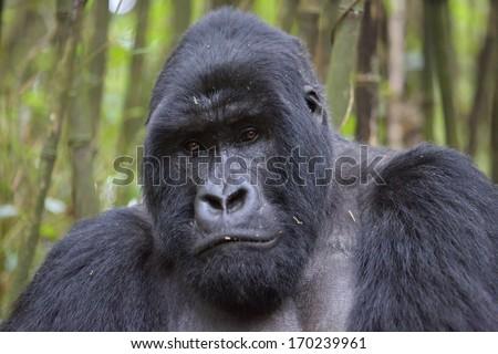 Silverback mountain gorilla in rain forest - stock photo
