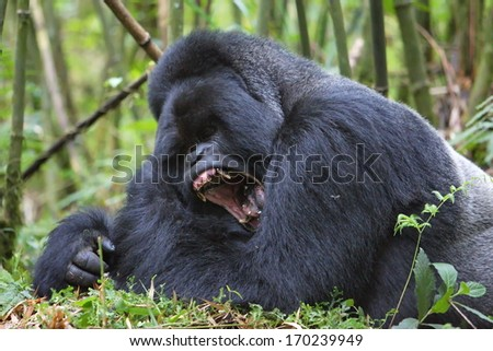 Silverback mountain gorilla in rain forest yawning - stock photo