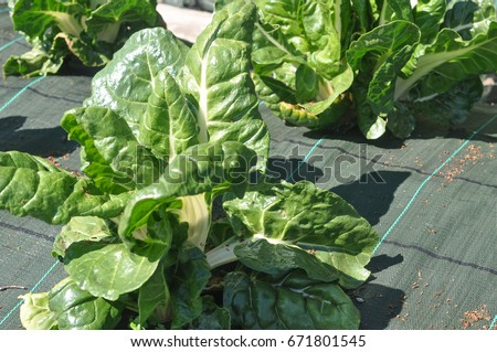 silverbeet aka chard vegetables vegetarian and vegan food