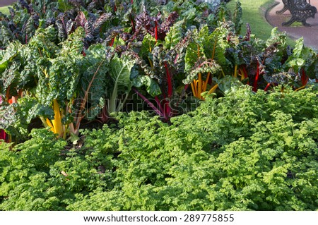 Silverbeet and parsley in ornamental garden