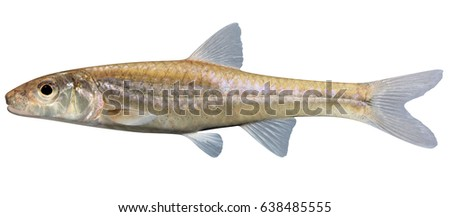 Minnow Stock Images, Royalty-Free Images & Vectors ...