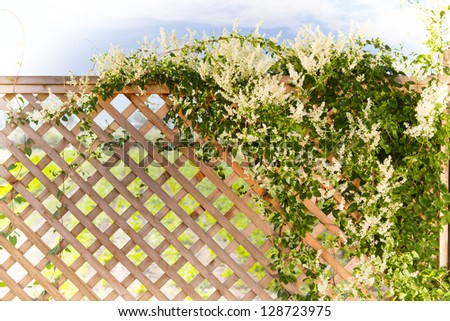Silverlace vine over a fence, spring garden in the background - stock photo