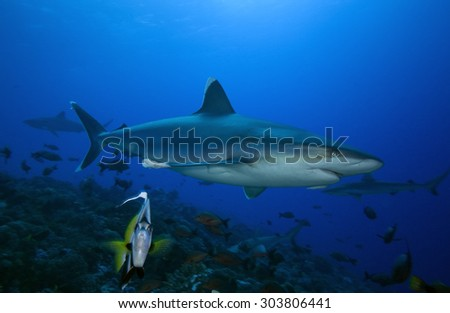 SILVERTIP SHARK SWIMMING CLOSE TO A BLACK AND YELLOW SMALL FISH