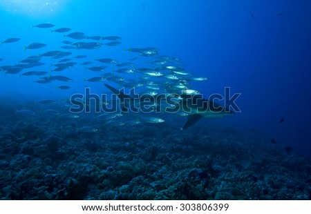 SILVERTIP SHARK SWIMMING WITH A SCHOOL OF SMALL FISH