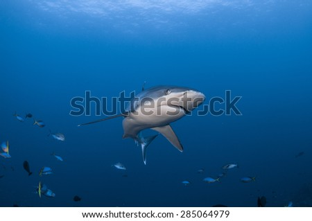 Silvertip Shark with fish on Blue Ocean Background - stock photo