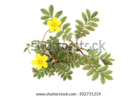 Silverweed, Potetilla anserina, wild flowers and foliage isolated against white - stock photo