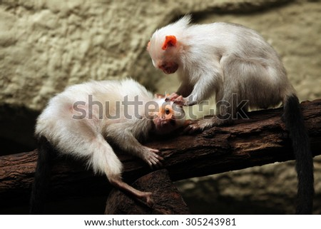 Silvery marmoset (Mico argentatus). Wild life animal.  - stock photo