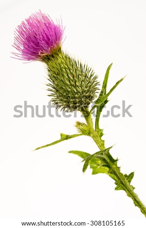 Silybum marianum -milk thistle flower-head isolated on white. - stock photo