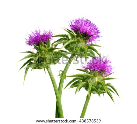 Silybum marianum (Milk Thistle) isolated on white background, Medical plants. - stock photo