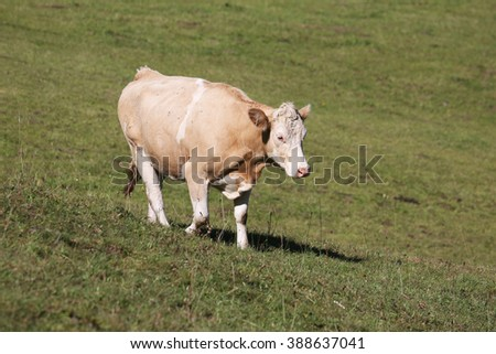 Simmental cow in Switzerland - stock photo