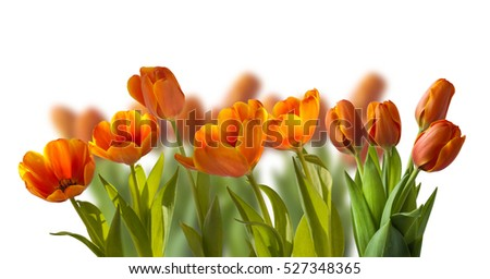 Simple earliest orange-red tulips on the flowerbed in isolation