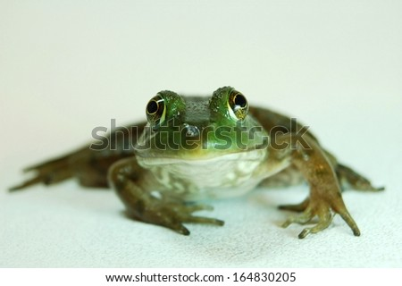 Simple Green Water Frog on a isolated background looking forward - stock photo