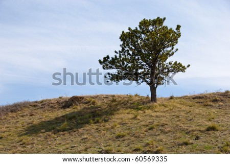 Simple pine tree with soft shadow stands alone on the crest of a grassy hill in the Colorado Rocky Mountain foothills.