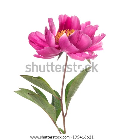 Simple pink peony flower, isolated ion white background - stock photo