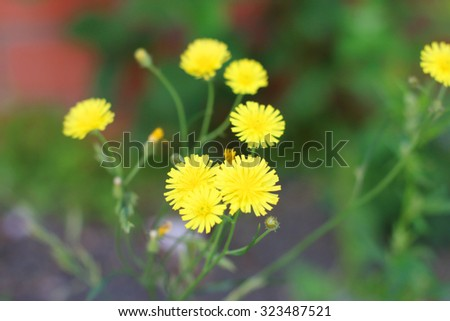 Simple yellow wild flowers among green grass at summer. Shallow dof - stock photo